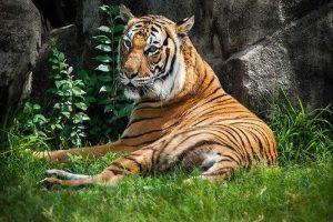 Tiger in US zoo affected by Coronavirus