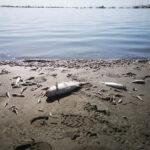fish deaths in the menor sea